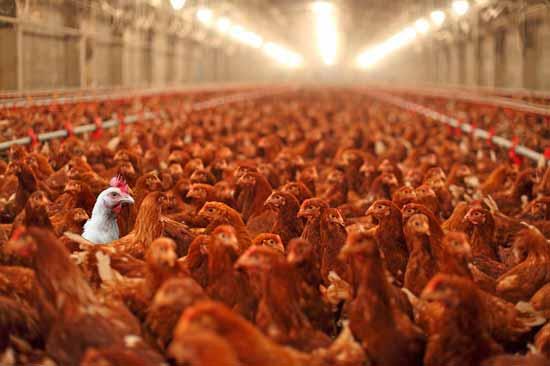 Как правильно следует выращивать кур для реализации мясной продукции